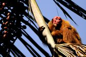 Photo for Uakari - Secrets of the English Monkey
