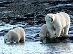 Photo for Polar Bears Living on Thin Ice