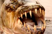 Photo for Tigerfish: Africa's Piranha