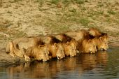Photo for The Lions Of Sabi Sand: Brothers In Blood