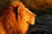 Photo for Brothers In Blood: The Lions Of Sabi Sand