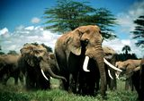 Photo for Echo and the Elephants of Amboseli
