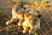 Photo for Blood Lions: Bred for the Bullet