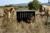 Photo for Killer IQ: Lion Vs Hyena