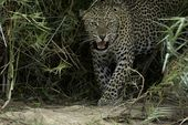 Photo for Leopard Fight Club