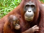 Photo for Orangutan Island 2