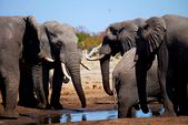 Photo for WALKING WITH ELEPHANTS