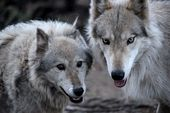 Photo for Wolves and Warriors - Die Wolfstherapie